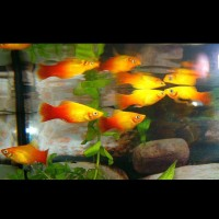 Ikan Hias Aquascape Akuarium Platy Sunset