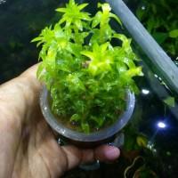 Aquascape Tonina fluviatilis