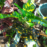 Bibit tanaman Puring macam-macam jenis Puring
