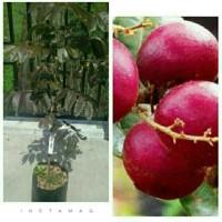 bibit buah kelengkeng merah (rubilongan)