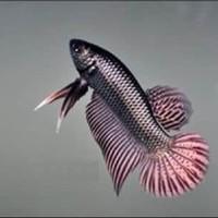 IMPORT ikan cupang alam WILD BETTA HYBRID copper mahachai halfmoon