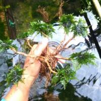 Pohon Bonsai / Akar Bonsai (Aquascape - Tanaman Air)