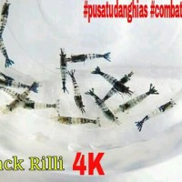 Black Rili* Paket murah udang hias untuk aquascape
