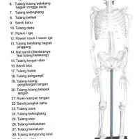 Model Kerangka Manusia Mini