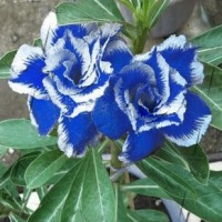 biji benih Bunga Adenium Obesum Desert Rose Blue-with