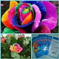Jual Benih / Bibit mawar rainbow import Murah