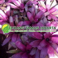 Jual Bromelia Purple Star | Tanaman Hias | Taman Kering | 082211628950
