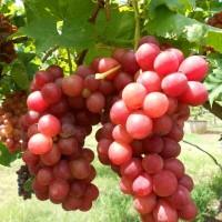 Bibit Tanaman Buah Anggur Red Globe 25cm