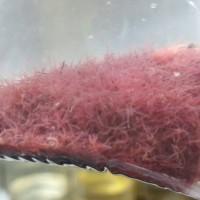 Cacing Sutra Makanan Pakan Cupang Guppy Louhan dan Ikan Hias Lainnya