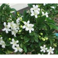 tanaman hias bunga kemuning