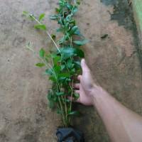 Lee kwan yew | jual tanaman rambat | tanaman hias menjuntai