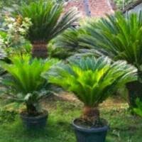 Bibit tanaman hias palm sikas