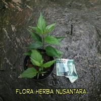 Harga bibit tanaman obat daun dandang gendis clinacanthus nutans l | antitipu.com