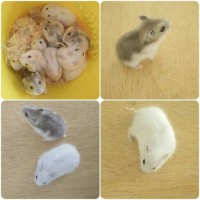 Jual HAMSTER WINTER WHITE | PEARL | NORMAL | SAPPHIRE | BLUE ARGENTE Murah