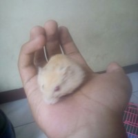 Hamster Hybrid Golden Red Eye
