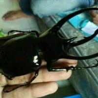 kumbang Tanduk/Badak Chalcosoma caucasus