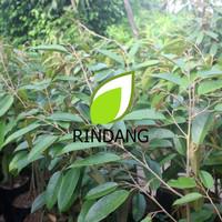 Bibit Durian Musang King KAKI 3 | Durian Musangking KAKI 3