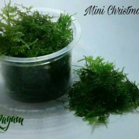 Jual Tanaman Aquascape - Mini Christmas Moss Murah