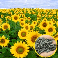 Jual Benih bibit biji tanaman Bunga Matahari Murah