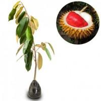 Bibit durian merah asli banyuangi/paling laris