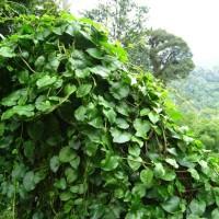 Daun Binahong Segar Baru Petik Setelah Dipesan 250gr Dheng San Chi