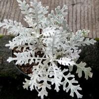Tanaman Putri Salju / Silver Dust (Dusty Miller)