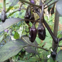 Bibit / Benih /Seeds Cabe Hias Purple Tiger Pepper Ornamental Pepper C