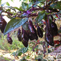 Bibit / Benih /Seed Cabe Ungu Purple Tiger Pepper Cabe Unik Ornamental