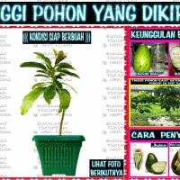 Jual ALPUKAT CUANKI ( bibit pohon buah import ) Murah