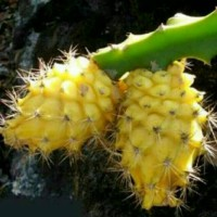 bibit buah naga kuning