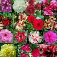 Bibit Bunga Kamboja 10 batang(warna sesuai gambar/pesanan)