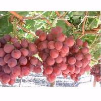 Bibit Biji Benih Tanaman Buah Anggur Merah/red Grape Fruit Impor