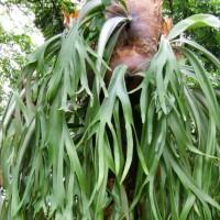 Tanaman gantung tanduk rusa, tanaman paku untuk hiasan taman
