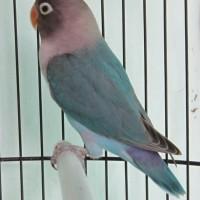 Burung Lovebird / Love Bird Biru ( Blue Series ) ' Cobalt '