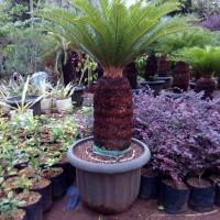 Jual tanaman sikas | pakis haji