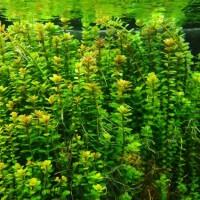 tanaman aquascape rotala indica ammania sp. 'bonsai'