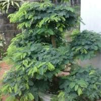 Bibit asem (bonsai)