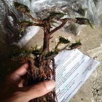 Tanaman Air aquascape aquarium bonsai akar rimbun