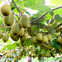 Benih/Bibit Seeds Buah Kiwi Banyak Manfaat Bagi Kesehatan