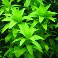 tanaman aquascape tonina fluviatilis