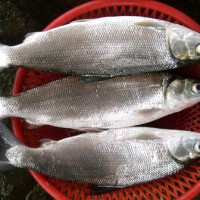 Jual ikan Fresh Frozen Bandeng Murah