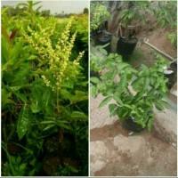 Bibit Kelengkeng Aroma Durian Kindisi Berbunga