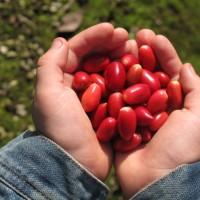 Bibit / Benih / Seed Buah Miracle Fruit Buah Ajaib Manis Miracle Berry