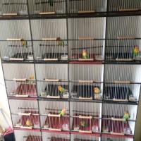 Burung Lovebird (LB) Paud/Bahan-Josan Ijo/Hijau Standar Murah Pengepul