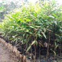 Bibit Tanaman Pohon Damar