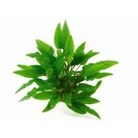 tanaman aquascape cryptocoryne wendtii green