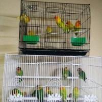 harga Burung Lovebird (lb) Paud / Bahan - Pasjo / Pastel Ijo Hijau Murah Tokopedia.com