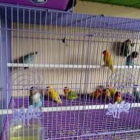 harga Burung Lovebird (lb) Paud/bahan-paskun Pastel Kuning Murah (pengepul) Tokopedia.com