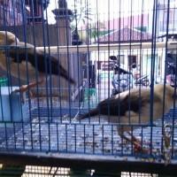 harga Burung Jalak Putih Anakan (sudah Makan Pur Sendiri) Murah (pengepul) Tokopedia.com