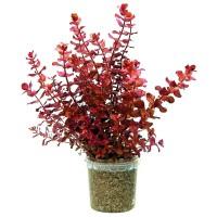 Jual tanaman Aquascape rotala macrandra mini type 4 Murah